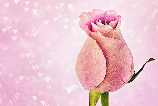 rose-3142527__340